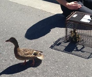 Idaho responders rescue 11 ducklings from storm drain