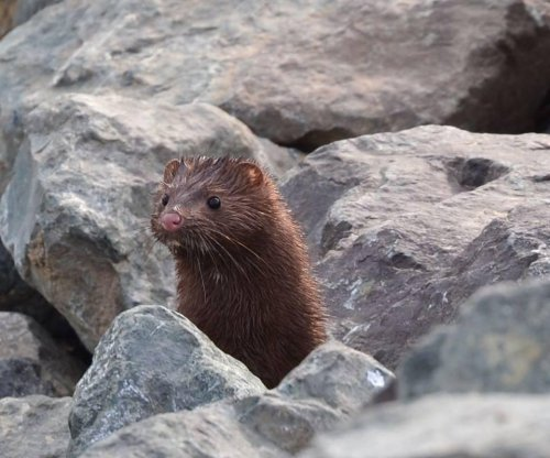 Mink pops up in Sacramento nature preserve