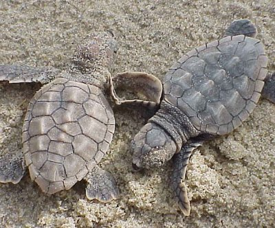 New test to identify sea turtles' sex boosts conservation efforts