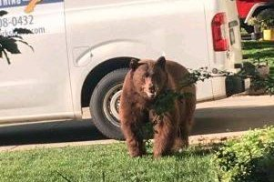 Large bear spotted in tree near Colorado school