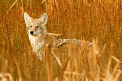 EPA approves coyote-killing 'cyanide bombs' for five states