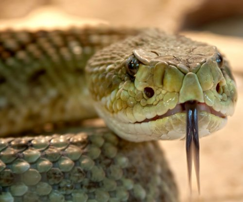 Snake's venom glands grown in lab for first time