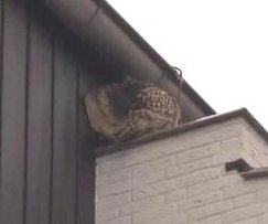 'Terror owl' frightening residents of Dutch town
