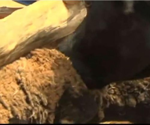 Killer Kenyan cow caught feeding on farmer's sheep