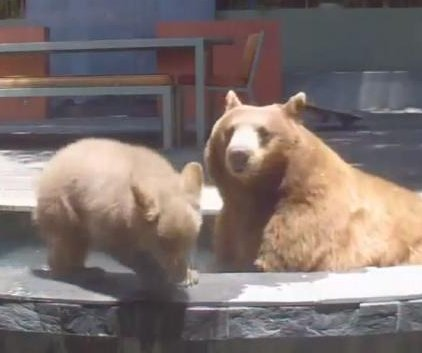 Bear family takes a swim in California family's pool