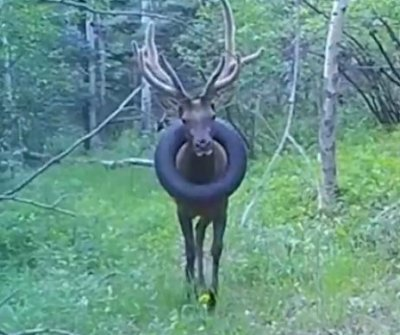 Wildlife officials searching for elk with tire around neck