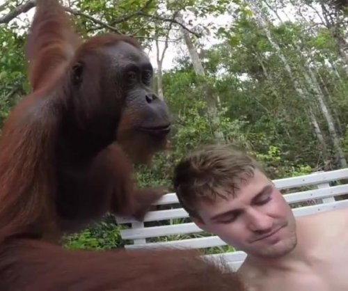 Orangutan climbs onto tourist boat in Indonesia, slaps selfie-taker in the face