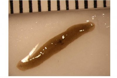 Space-traveling flatworms reveal effects of microgravity on regenerative health