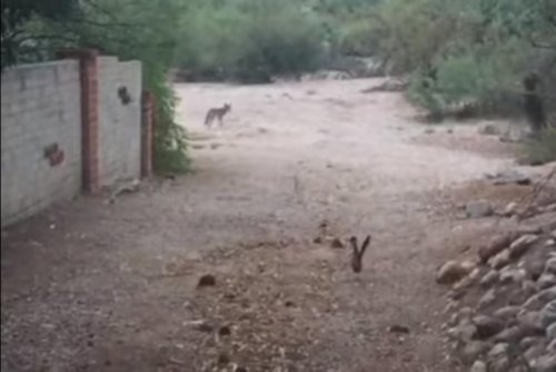Roadrunner and coyote come face-to-face in Arizona