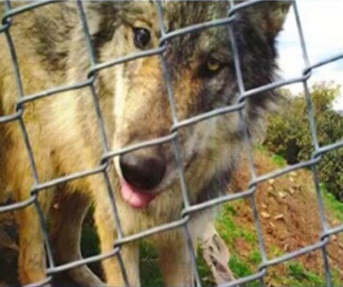 Wildlife center's missing wolf recaptured in Colorado