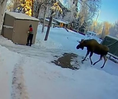 Alaska man flees into shed to escape moose