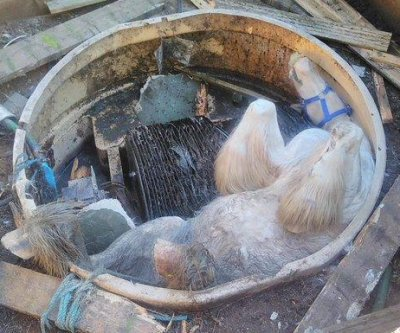 Horse hoisted upside-down from cesspit