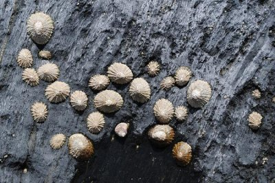 Limpets repair their damaged shells with biological materials