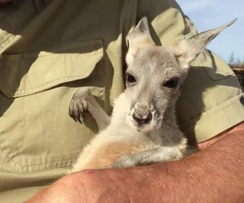 Orphan baby Kangaroo hops into simulated pouch for a nap