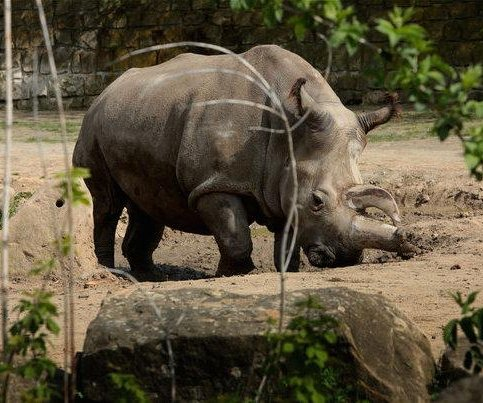 Northern white rhino dies at Czech zoo, leaving only four alive in world