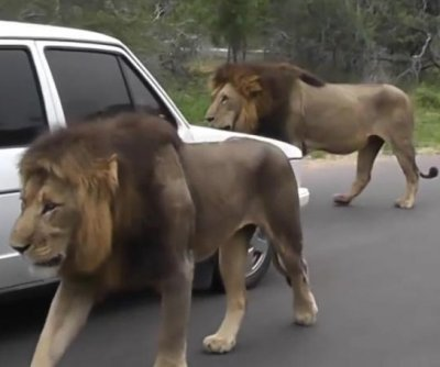 Pair of road-walking lions cause traffic jam in South Africa
