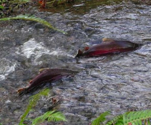 Storm runoff presents salmon with toxic one-two punch, study shows