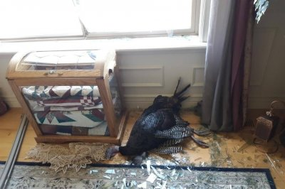 Reported 'burglary in progress' in Utah was window-crashing turkey