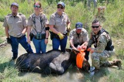 Moose spotted on Colorado golf course captured at U.S. Army fort
