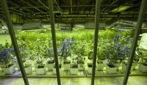 California high-school students sickened by marijuana brownies