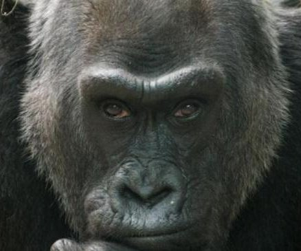 Colo, oldest gorilla in world captivity, dies in Ohio zoo at 60