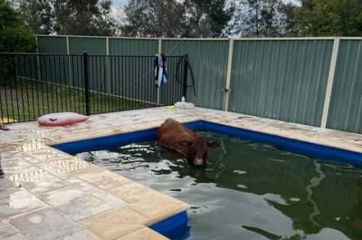Look:-Australian-rescuers-remove-cow-stuck-in-backyard-pool