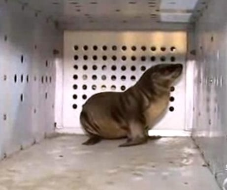 Los Angeles authorities seek kidnapped sea lion pup