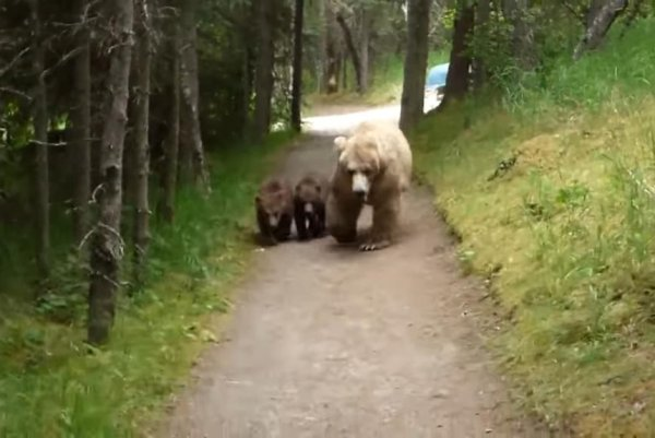 Watch Man Followed By Mother Grizzly And Two Cubs Upi Com