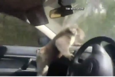 Wild koala climbs into car to relax in air conditioning
