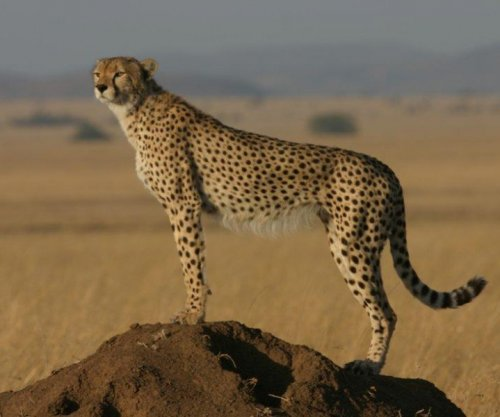 Report: Cheetahs running out of space, vulnerable to extinction