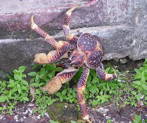 Giant coconut crab found on Honolulu street