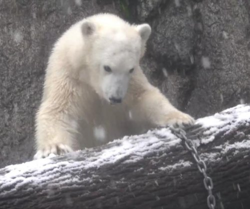 Oregon Zoo's polar bear cub plays in snow for the first time