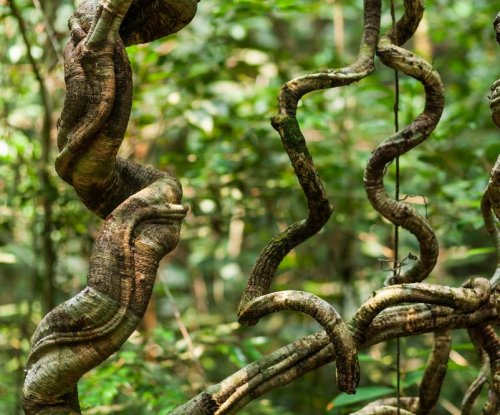 Woody climbing vines are suffocating tropical forests