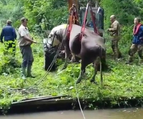 Firefighters hoist cows out of canal in Britain