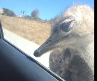Ostrich tries to get through car window at safari park