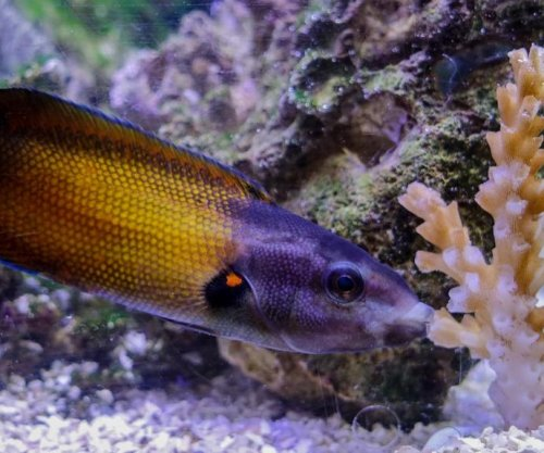 Fish uses special lips to eat razor-sharp, venomous coral