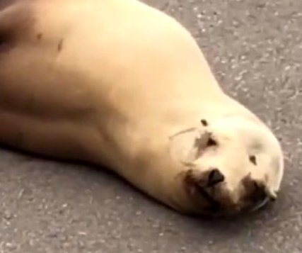 Sea lion blocks traffic on busy San Diego road