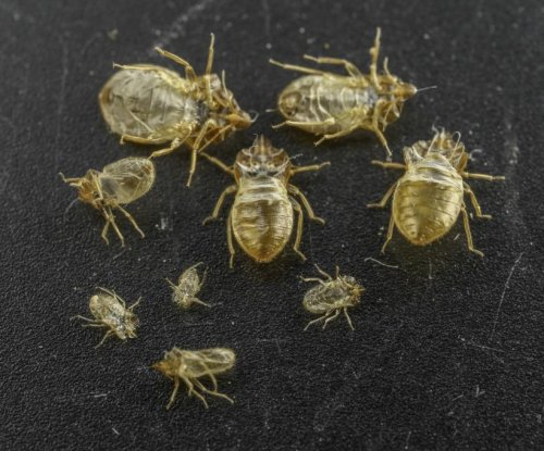Pheromones in shed skins may aid fight against bed bugs