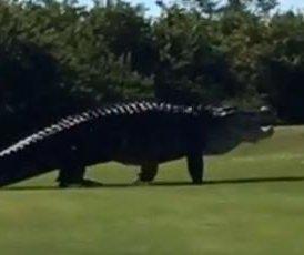 Gargantuan gator resurfaces at Florida golf course