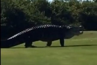 Gargantuan gator resurfaces at Florida golf course