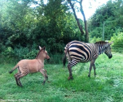 Wildlife trust surprised by 'highly unusual' zonkey birth