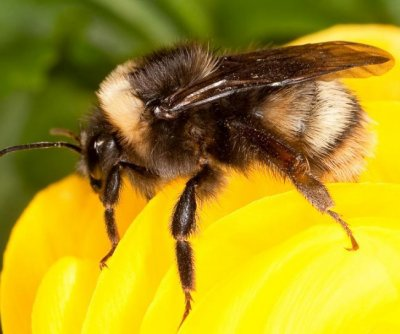 Rare bumblebee rebounds in Pacific Northwest