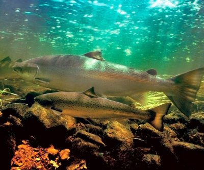 Researchers look to stop salmon-killing toxic runoff