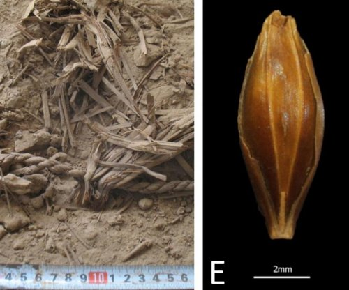 Scientists sequence genome of 6,000-year-old barley