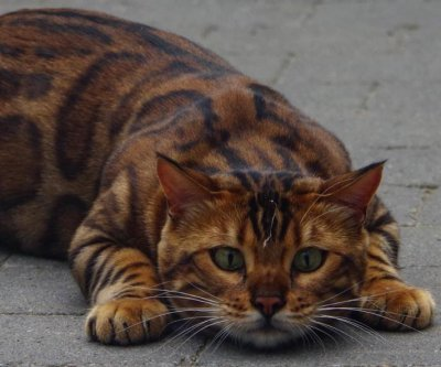 Leopard cat camed Thor attracting fans worldwide