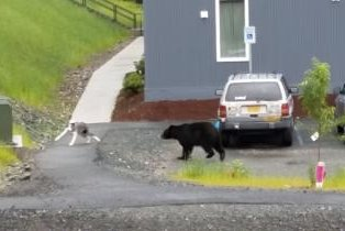 Bear chases overly friendly dog away on Alaskan street