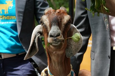 Maryland couple lead efforts to capture loose goat in the road