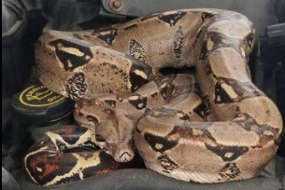 Police respond to boa constrictor found under car hood