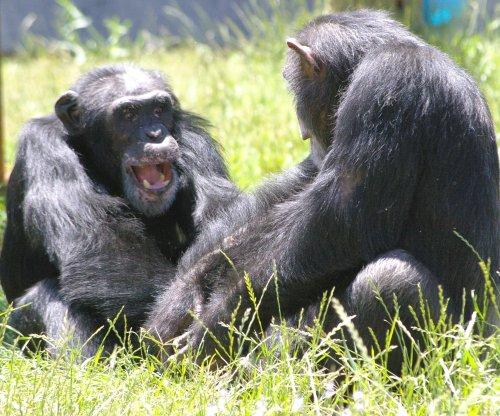 Study: Trust key to chimpanzee friendships