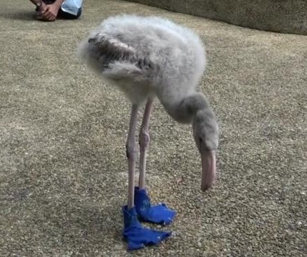 Orphaned flamingo baby gets custom blue shoes to protect feet